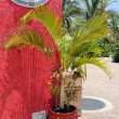 Stock Photo: Palm Tree in Cozumel Mexico