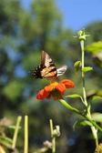 Papilio glaucus schmetterling auf blume — Stockfoto