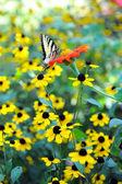 黄色の花のアゲハチョウ イースター タイガー — ストック写真
