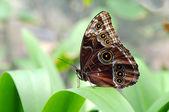 Morpho motyl przysiadł na liściu — Zdjęcie stockowe