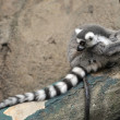 Ring-tailed lemur — Stockfoto