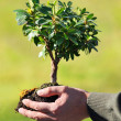 Hands Holding Small Tree — Stock Photo