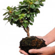 Man,s Hands Holding Bonsay Tree — Stock Photo #14184289