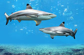 Blacktip Reef Sharks Swimming in Tropical Waters — 图库照片