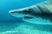 Sand Shark in Close Up View — Stock Photo