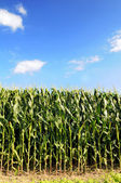 Cornfield Over Blue Sky — Stock Photo