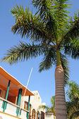Palmowe drzewo w saint martin — Zdjęcie stockowe