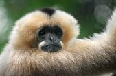 Singe gibbon à joues blanches — Photo