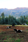 Countryside With Cows Resting — Stockfoto