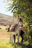 Female Donkey and Foal — Stock Photo