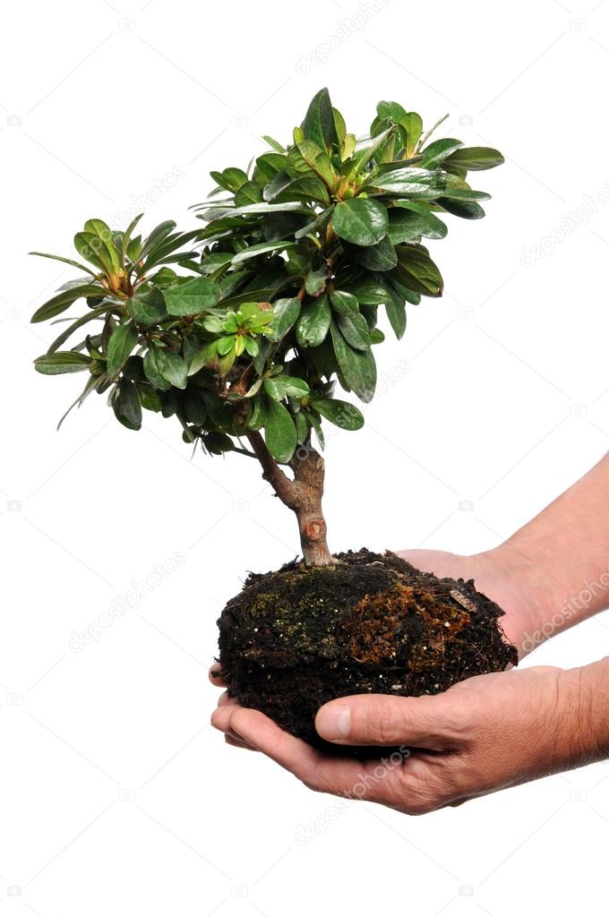 Man's hands holding tree and soil isolated over white background — Stock Photo #14184289