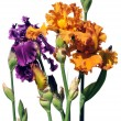Purple and Orange Iris Flowers — Stock Photo
