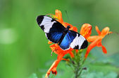 Heliconius Cydno Butterfly — Stock Photo