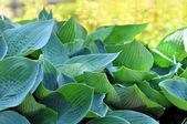 Hostas in a Garden — Stock Photo