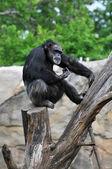 Ağaç üzerinde oturan şempanze — Stok fotoğraf