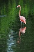 Flamant rose dans l'eau — Photo