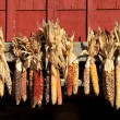 Indian Corn on a Barn — Stock Photo #15394687