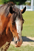Head of Clydesdale Horse — Stock Photo