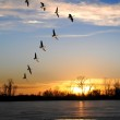 Canadian Geese in V Formation — Stock Photo #15818277
