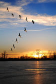 Canadian Geese in V Formation — Stock Photo