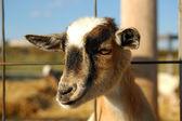 若いヤギ — ストック写真