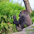 Gorilla in its Natural Habitat — Stock Photo #15823955
