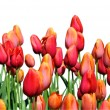 Stock Photo: Red and Orange Tulips