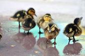 Młode krzyżówki kaczątka — Zdjęcie stockowe