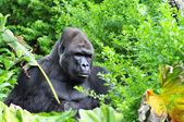 Gorilla Hidding in the Jungle — Stock Photo