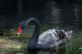 Black Swan on the Water — Stock Photo