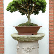Bonsai Tree — Stock Photo #16632125