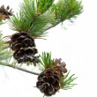 Royalty-Free Stock Photo: Pine Cones
