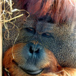 Face of Orangutan — Stock Photo