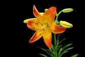 Orange and Yellow Daffodil — Stock Photo