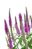 Spiked Speedwell — Stock Photo