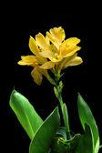 Yellow Canna — Stock Photo