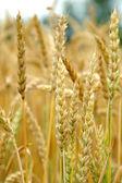 Wheat Turning Ripe — Stock Photo