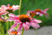Butterfly and Coneflower — Stock Photo