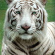 White Benagal Tiger — Stock Photo #16640067