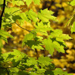 Stock Photo: Red Oak leaves turning yellow