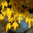 Stock Photo: Red Oak Tree in Fall