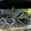 Rattlesnake — Stock Photo #16856211