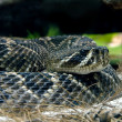 Stock Photo: Rattlesnake