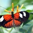 Stock Photo: Heliconius Butterfly on Leaf