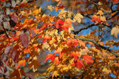 Red Oak Leaves in the Fall — Stock Photo