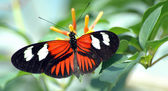 Heliconius Butterfly on Leaf — Stock Photo