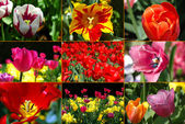 Tulips Montage — Stock Photo