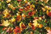 Red and yellow maple leaves fallen off trees lying on green grass in sunshine — Stock Photo