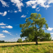 Field, tree and a blue sky with clouds — Stock Photo