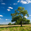 Stock Photo: Field, tree and blue sky with clouds. Horizontal view.